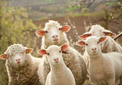 Экономика по-дагестански или как исчез 1 миллион овец
